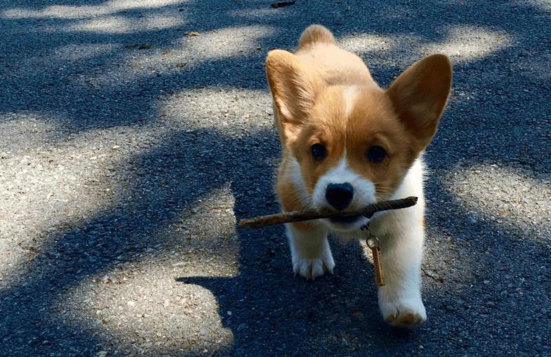 تولهسگ در حال بازی کردن با چوب