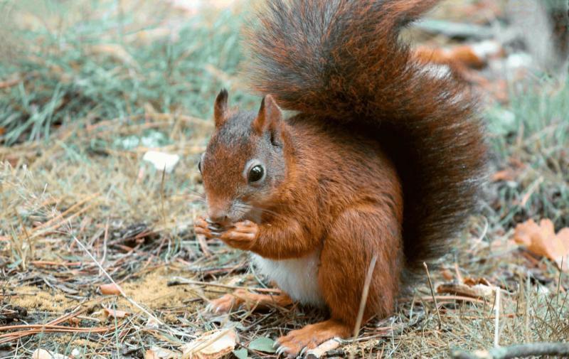 سنجاب با موهای قهوهای سوخته و دم پف کرده در حال لذت بردن از غذا در جنگل